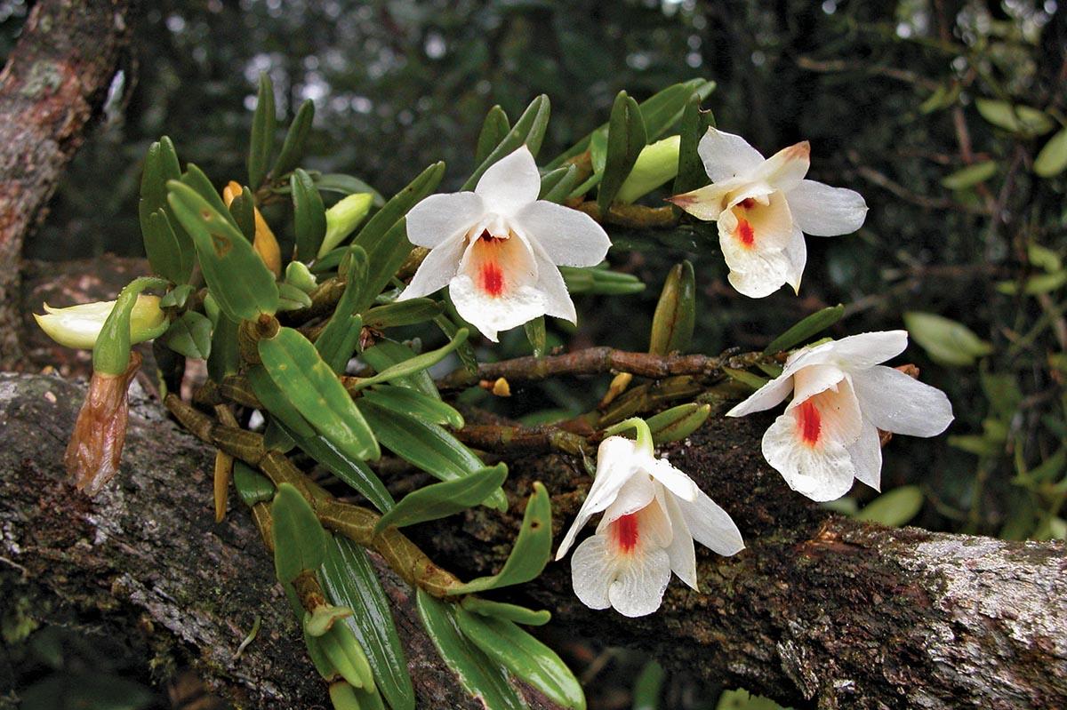 hoa phong lan là gì