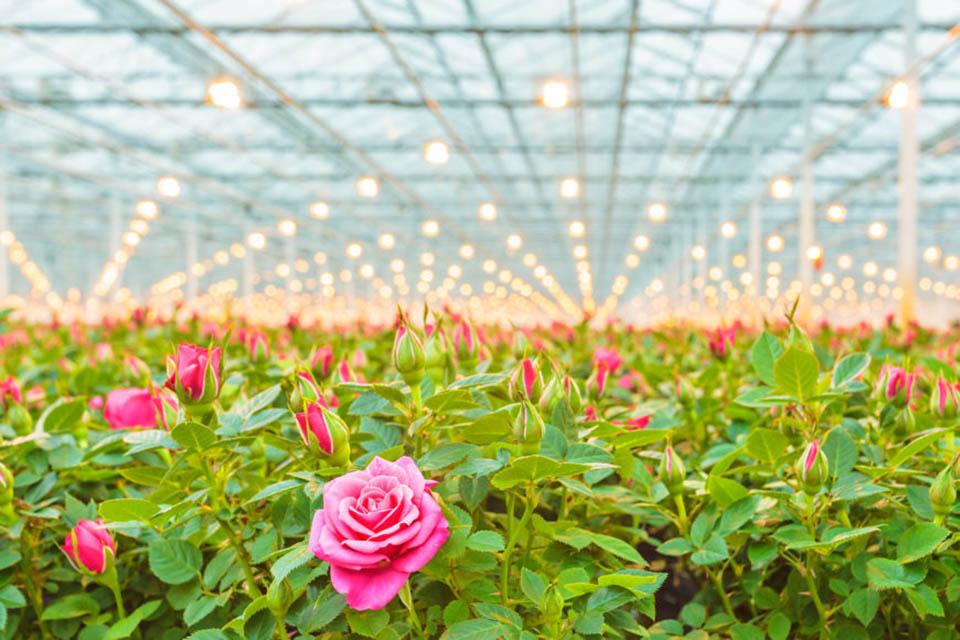 Tại sao các vườn hoa hồng thường được trồng trong nhà kính?